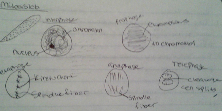 Lab03a in addition Post 54 also Mitosis Lab Root Tip also 9720708 as well CUTG. on onion epidermal cell labeled